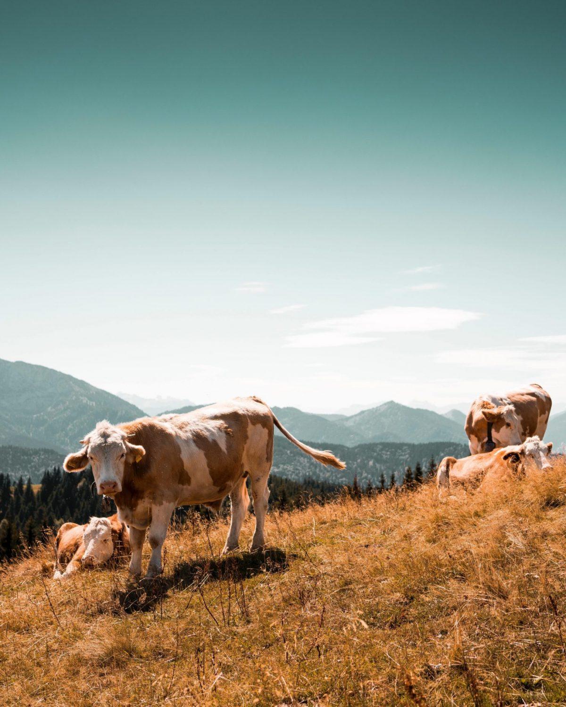 Kühe auf dem Wackersberg